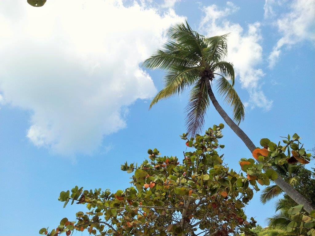 Palm Trees, St Thomas