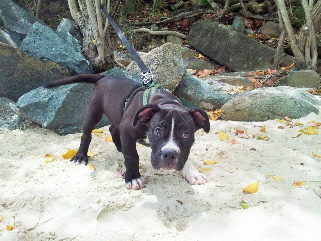 Puppy on Platform Beach, USVI